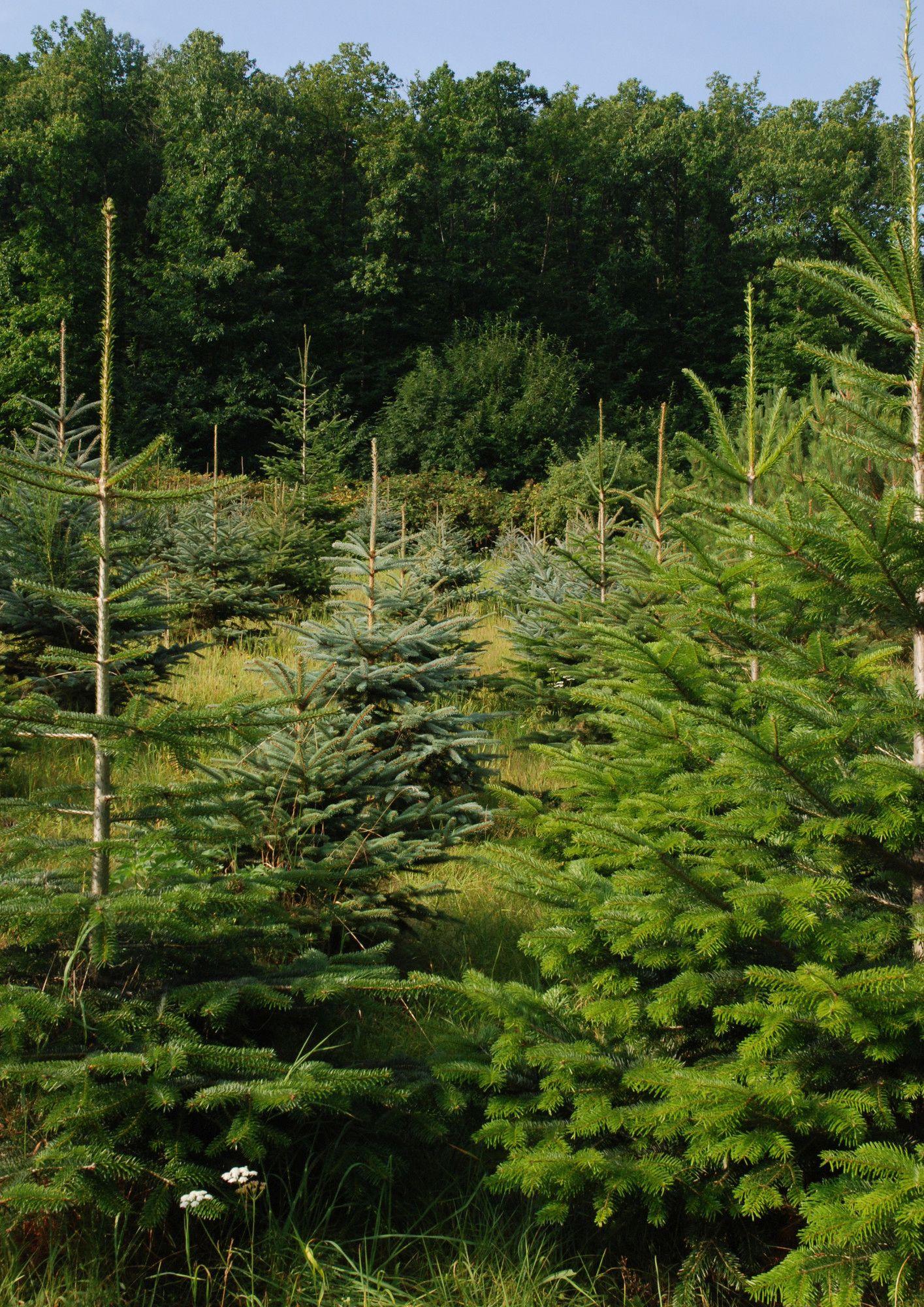 Blick durch eine Reihe Nadelbäume auf der Weihnachtsbaum-Kultur.Tannenbaum.Schmuckreisig.